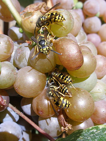 five wasps eating a bunch of ripe grapes